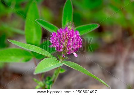 Flower Red Clover Closeup. The Medicinal Plant Used In Folk And Traditional Medicine Is Red Clover.