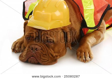 working dog - dogue de bordeaux wearing construction worker costume laying on white background poster