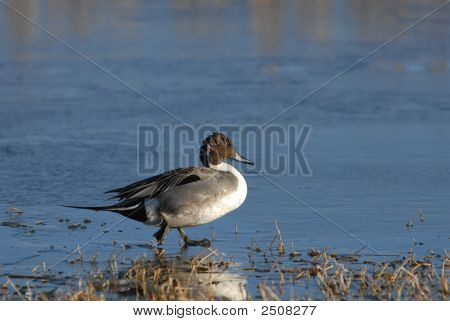 Pintail Duck On Ice
