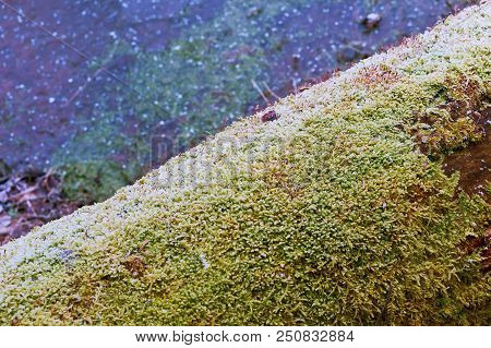 Red Sprouts Of Moss On A Tree Trunk, Green Moss On A Fallen Tree