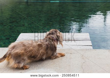 Longhaired Dapple Dachshund Walking Up To The Edge Of A Pool Platform. Sunny Outdoor Setting.