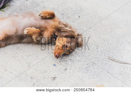 Longhaired Dapple Dachshund Laying On The Ground With Paws Up. Dog Has Multiple Shades Of Brown Fur.