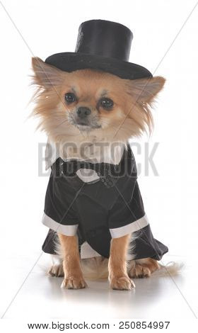 long coat chihuahua wearing a tuxedo on white background