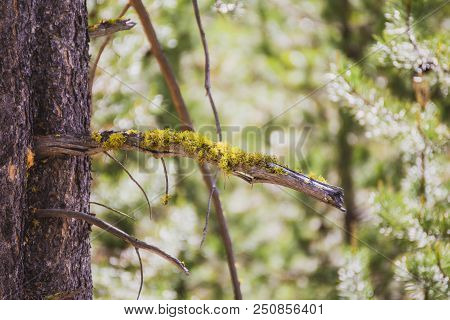 Green Or Yellow Moss Growing On A Pine Tree In A Forest. Summer Day Setting.