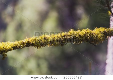 Green Or Yellow Moss Growing On The Branch Of A Pine Tree In A Forest.