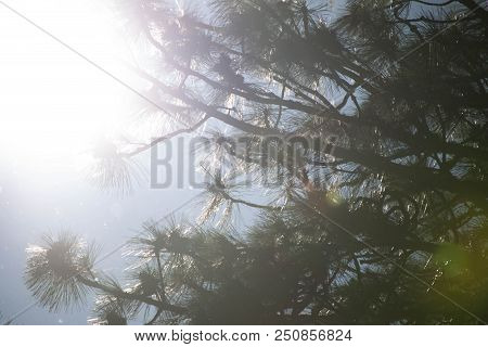 Sunlight Bursting Behind The Needles And Branches Of A Pine Tree.