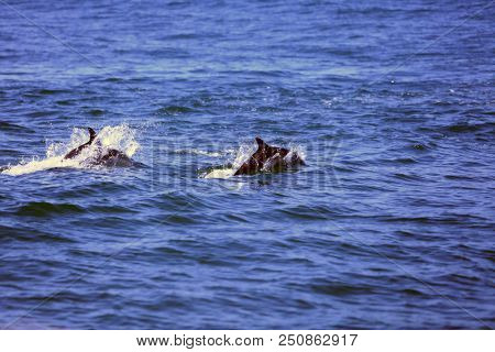 Common Dolphins. Wild Common Dolphins Swim, Jump and Play in a Pod of Dolphins in the Pacific Ocean off the coast of Newport Beach California. California Dolphins. Dolphin Pods swim and hunt for food.