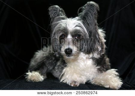 Chinese Crested dog on a black velvet background. Dog Portrait of a Non - Hairless Chinese Crested dog.