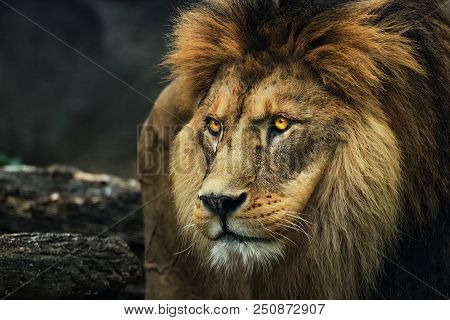 Portrait Of A Lion From A Profile. Poster Majestic Lion. Photo From Animal Life.