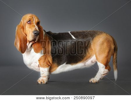 Basset Hound Dog In Studio From Sideways With Grey Background