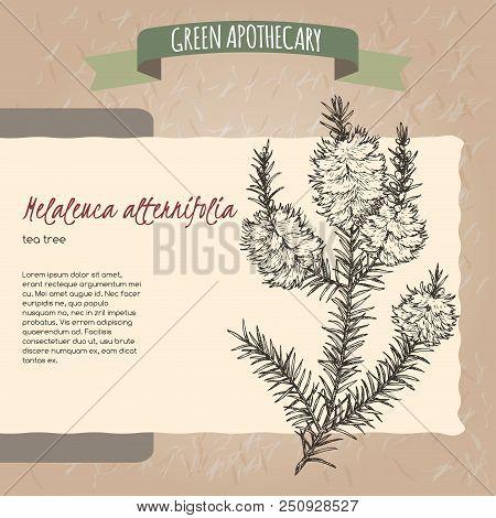 Melaleuca Alternifolia Aka Tea Tree H. Green Apothecary Series. Great For Traditional Medicine, Gard