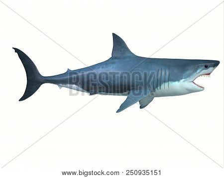 Great White Shark Side Profile 3d Illustration - The Great White Shark Is A Large Carnivore Found In