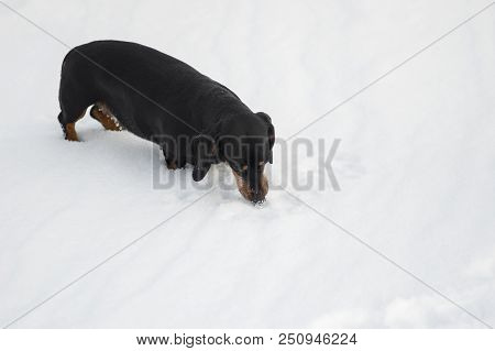 Young Dachshund Dog Smelling Fresh Snow While Playing Outdoor