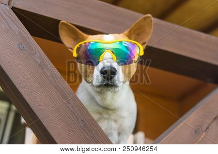 Portrait Of Basenji Dog In Chameleon Sunglasses Peeping Out For Everybody Around