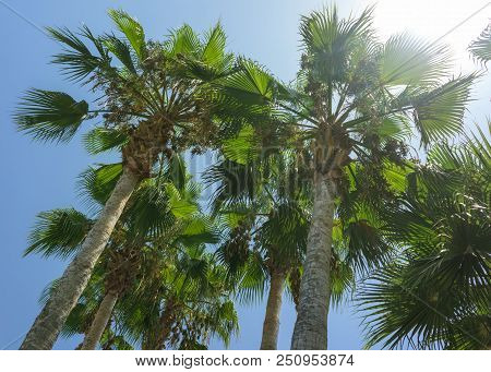Green Tropical Coconut Palm Trees At Tropical Coast Against Blue Sky, Palm Trees Coconut Tree Perspe