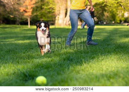Happy Aussie dog runs on meadow with green grass in summer or spring. Woman with beautiful Australian shepherd puppy 3 months old running towards camera. Cute dog enjoy playing at park outdoors.