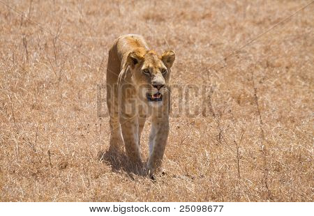 Lioness In The Serengeti National Park