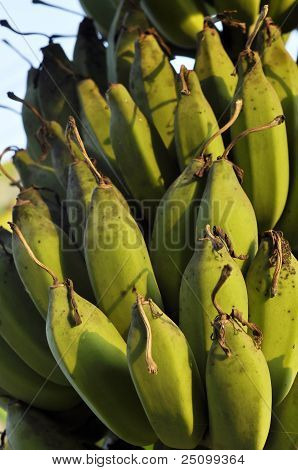 Plant Fruit Local Green Banana