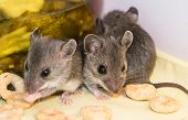 Three juvenile house mice, Mus musculus, in a pantry kitchen cabinet eating loose cereal in front of a jar of pickles. poster