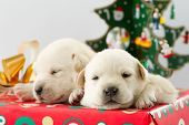 Merry Christmas -cute  puppies in a Christmas gift poster