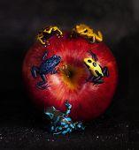 apple with three dendrobates, leucomelas, tinctorius, azureus poster