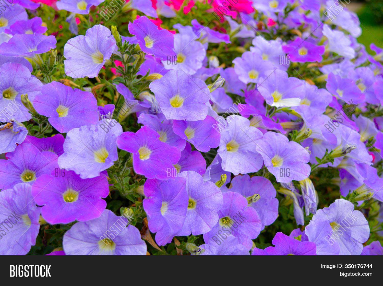 Flower Bed Petunia Image Photo Free Trial Bigstock