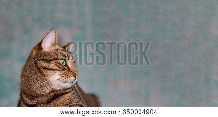 Horizontal Banner. Feline Face With Green Eyes, Close-up. European Shorthair Cat Looks Away. Backgro