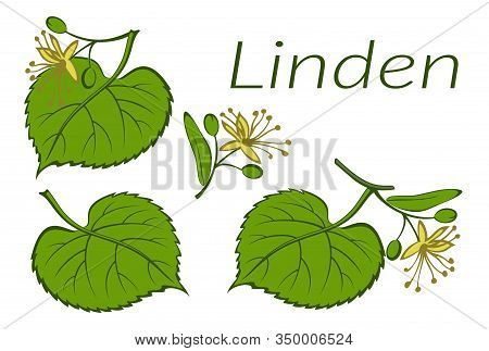 Set Of Plants, Linden Tree Green Leaves And Yellow Flowers, Isolated On White. Vector