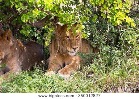 Two young lionesses rest in the shade of a bush in the savannah. Kenya, Masai Mara Park. Jeep - safari  in spring in the Africa. Predatory mammal. Concept of exotic, extreme and photo tourism