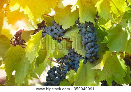 Grapevine With Ripe Clusters Of Varietal Blue Wine Grapes In A Vineyard In Ukraine In The Sunshine.