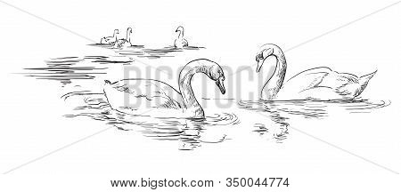 Vector Hand Drawing Group Of Swans Swimming In Water. Monochrome Realistic Swans In Black Color Isol