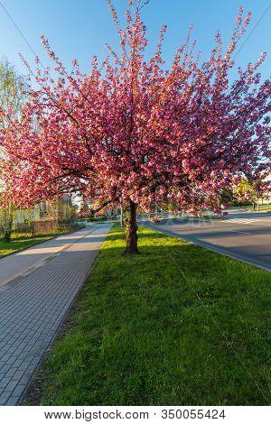 Flowering Sakura Tree On Trida 17.listopadu Street In Karvina City In Czech Republic