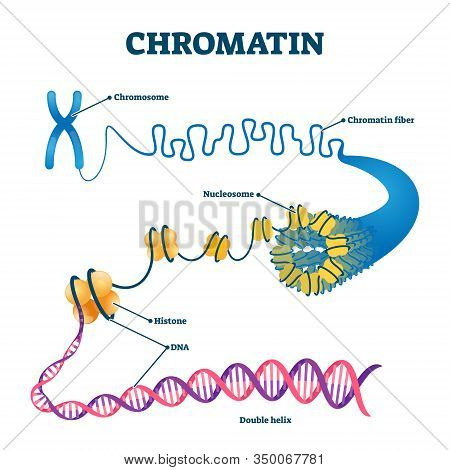 Chromation Biological Diagram Vector Illustration. Close-up With Nucleosome, Histone And Dna Double
