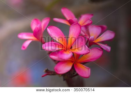 Branch Of Pink Frangipani Flowers. Blossom Plumeria Flowers On Blurred Background. Frangipani Close