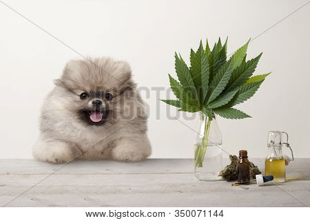 Smiling Pomeranian Puppy Dog And Marujuana Cannabis Sativa Weed Leaves, Flower Bud And Cbd Oil In Gl