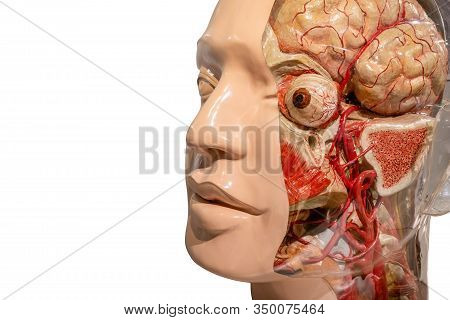 Anatomy Female Head And Face Model For Doctor And Education Isolated On White Background. Close Up O