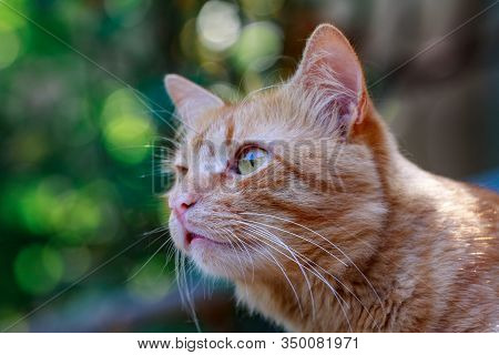 A Large Red Cat Looks Into The Camera From Above With Yellow Eyes Sitting On The Roof. Ginger Cat On