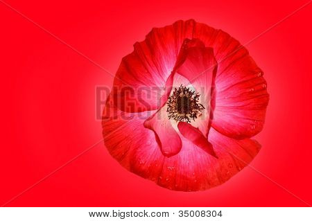 Close up of a red poppy