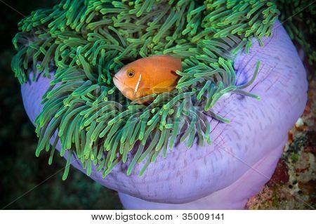 Maldivian Clown Looks Out From Sea Anemone, Maldives