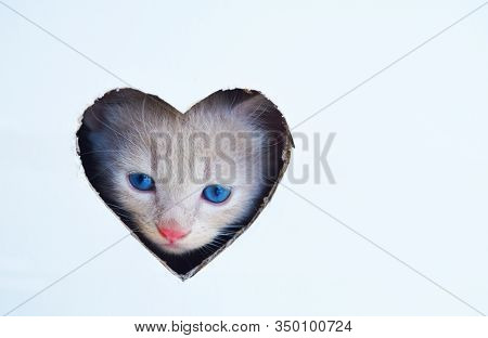 Happy Valentines Day Cat, Valentines Day Background, Cute White Kitten With Blue Eyes Is Looking Tro