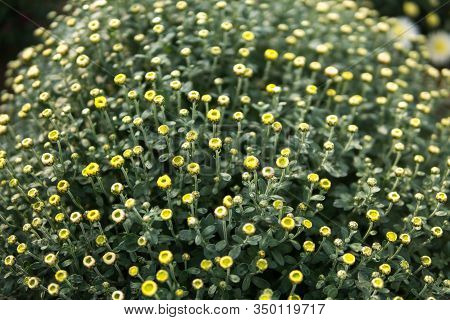 Chrysanthemum Flowers Inside Of A Greenhouse