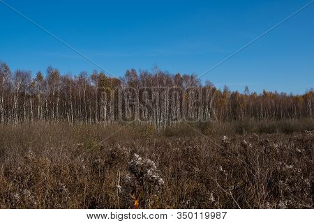Landscape With Swamps Covered With Phragmites And Birch Trees