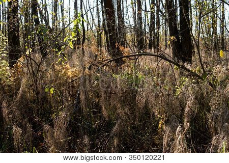 Marsh In A Forest With Birch Trees