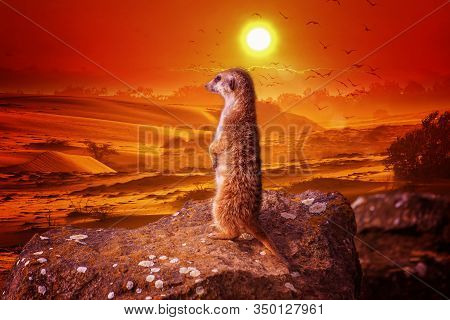 Meerkat Suricata Suricatta Stands On A Stone At Sunset And Looks Into The Distance. African Native A