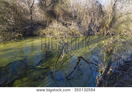 Early Spring In The Swamp. Marshland. Water Covered With Green Duckweed. The Ecosystem Of The Swamp.