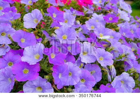 Flower Bed With Petunia Purple Flowers. Colourful Violet Petunia Flower. Close Up Of Petunia Flowers