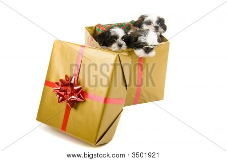 Three cute Shih Tzu puppies in a gold box with a red bow and ribbon for a Christmas gift. poster