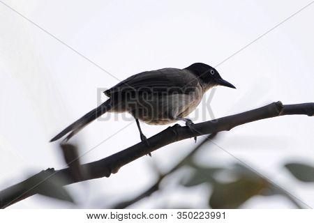 A Blackcap Babbler, Turdoides Reinwardtii, Om A Branch In Gamibia