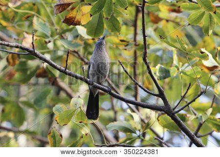 Brown Babbler, Turdoides Plebejus, In A Tree