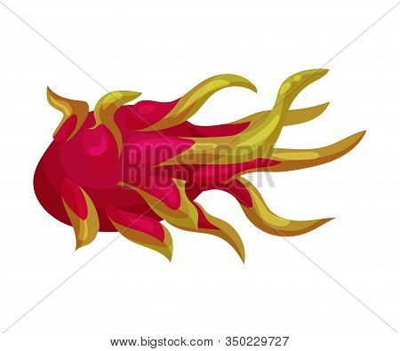Whole Pitaya Or Dragon Fruit Cut Section Covered With Leathery Leafy Skin Vector Illustration